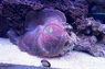 Giant Cup Mushrooms - Rhodactis indosinensis - Giant Coral Anemone - Giant Disc Anemone - Giant Mushroom Anemone - Giant Flower Coral