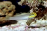 Golden Head Sleeper - Sleeper Gold Head Goby - Valenciennea strigata - Yellowheaded Sleeper - Blueband Goby