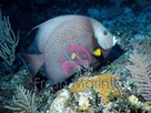 Gray Angelfish - Pomacanthus arcuatus - Grey Angel Fish