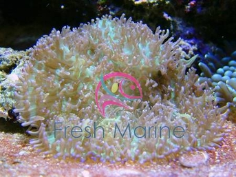 Hairy Mushrooms - Actinodiscus species - Disc Anemones - Flower Corals - Mushroom Anemones