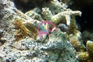 Hydnophora Coral - Hydnophora species - Green Horn Flourescent Coral - Branch Coral - Knob Coral - Horn Coral
