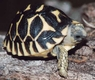 Indian Star Tortoises - Geochelone Elegans