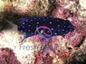 Jewel Damsel - Microspathodon chrysurus - Bluespot Damselfish
