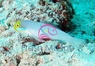Ladder Glider Gobies - Sleeper Blue Dot Goby - Valenciennea sexguttata - Sixspot Sleeper Goby