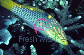Marble / Hort. Wrasse - Halichoeres hortulanus - Checkerboard Wrasse