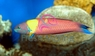 Mexican Rainbow / Rock Wrasse - Thalassoma lucasanum - Cortez Rainbow - Lollipop - Mexican Rainbow Wrasse