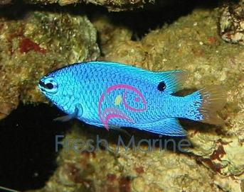 Orangetail Blue Devil Damsel Damsel Fish - Chrysiptera cyanea - Orange Tail Damselfish