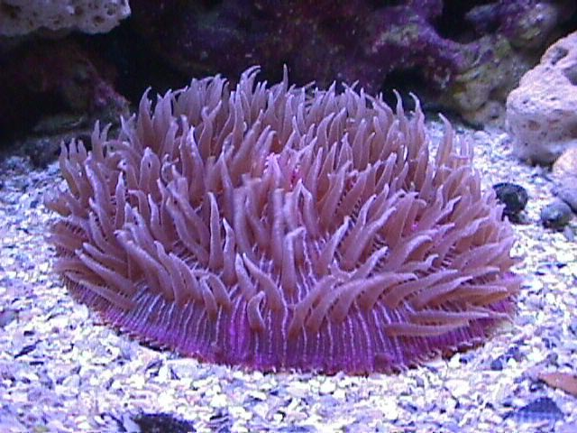 Plate coral fungia species short tentacle plate coral disc coral