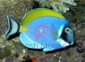 Powder Blue Tang - Acanthurus leucosternon - Powder Blue Surgeon Fish