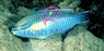 Princess Parrotfish - Scarus teaniopterus - Princess Green Parrot Fish