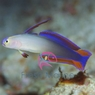 Purple Firefish Goby - Nemateleotris decora - Purple Dartfish - Decorated Darfish - Flame Firefish