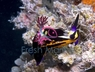 Purple Lettuce Nudibranch - Bryopsis - Eating Nudibranch - Tridachia crispata - Lettuce Sea Slug