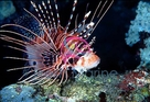 Radiata Lionfish - Pterois radiata - Radiata Lion Fish