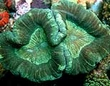 Small Polyp Corals