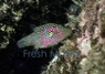 Spotted Puffer - Canthigaster punctatissimus - Crowned Puffer - Spotted Sharpnose Puffer