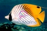Tear Drop Butterfly Fish - Chaetodon unimaculatus - Teardrop Butterflyfish