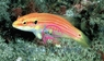 Two Spot Hogfish - Bodianus bimaculatus - Twinspot Hogfish - Twospot Slender Hogfish - Yellow Hogfish