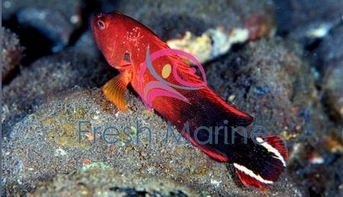 V-Tail Grouper - Cephalopholis urodelus - Flagtail Grouper Fish