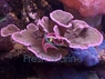 Velvet Coral - Assorted Color - Montipora species - Montipora Plate Coral - Velvet Finger Coral