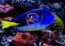 Yellow Belly Blue Tang - Paracanthurus hepatus - Palette Surgeonfish - Hepatus Tang - Pacific Blue - Yellow-tail Blue Tang Fish - Blue Hippo Tang