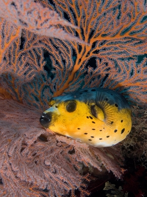 Yellow Belly Dogface Puffer - Arothron nigropunctatus - Arothron Dogface Puffer - Blackspotted Puffer