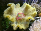 Yellow Fiji Leather - Sarcophyton species - Yellow Leather Coral - Elegant Leather Coral - Mushroom Leather Coral