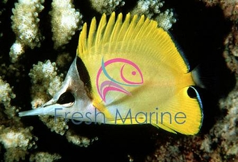 Yellow Longnose Butterfly Fish - Forcipiger flavissimus - Forceps Butterflyfish