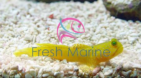 Yellow Watchman Goby For Sale Yellow Watchman Goby