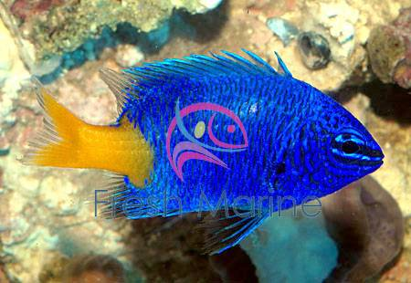 Yellowtail Damsel Fish - Chrysiptera parasema - Yellow Tail Damselfish