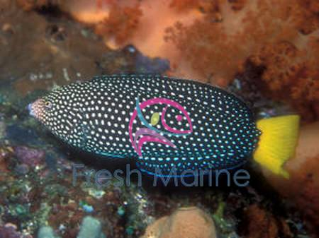 Yellowtail Wrasse - Anampses meleagrides - Yellow-Tail Tamarin - Yellow Tail Wrasse