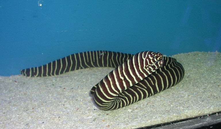 Zebra Moray Eel - Gymnomuraena zebra - Carpet Eel Blenny - Eared Eel Blenny