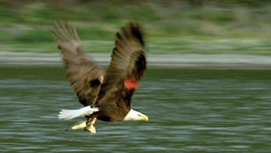 Return Flight: Restoring the Bald Eagle to the Channel Islands