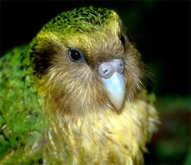 The Unnatural History of the Kakapo