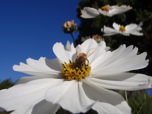 Vanishing of the Bees: <br>34 Minute  Version with Study Guide