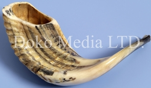 Medium Size Authentic Natural Ram's Horn Shofar