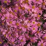 "aster Wood's Pink [16""]"