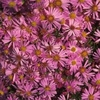 """aster Wood's Pink [16""""]"""