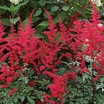 """astilbe Spartan [30""""]<br>^^^ SOLD OUT ^^^"""