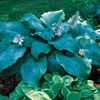 larger Blue Mammoth <br>• POTTED PLANT •