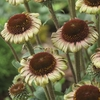 coneflower Caribbean Green &#x2600 24""