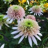 coneflower Cherry Fluff<br>^^^ SOLD OUT ^^^