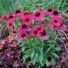coneflower Dixie Belle ☀ 24""