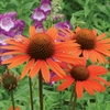 coneflower Dixie Blaze ☀ 25""