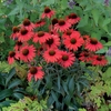 "coneflower Dixie Scarlet [24""]<BR>LAST YEAR OFFERED!"