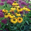 "coneflower Dixie Sun [24""]<BR>LAST YEAR OFFERED!"