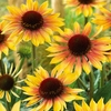 "coneflower Evening Glow ☀ 24""<BR>^SOLD OUT^"