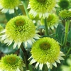 coneflower Greenline ☀ 24""