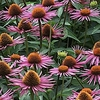 coneflower Pica Bella ☀ 24""