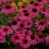 "coneflower Purple Emperor [18""]<br>^^^ SOLD OUT ^^^"