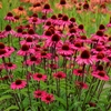 "coneflower Sensation Pink [18""]<BR>^^^ SOLD OUT ^^^"